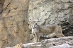 LINCE NO BIODOME MONTREAL