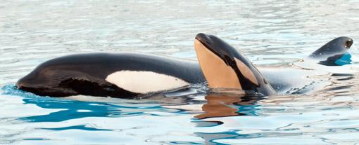 Orca e filhote Seaworld