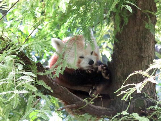 Central Park Zoo Panda Vermelho