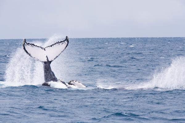 Baleia na Praia do Forte