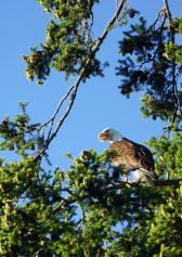 Eagles abound
