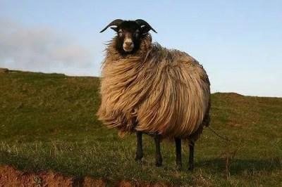 aid adha mouton