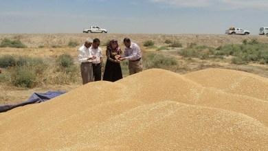 صورة فتح مراكز تسويقية جديدة لاستلام محصولي الحنطة والشعير في الديوانية