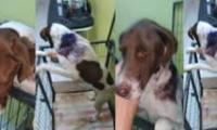 وصول كلبة مغتصبة لطبيب بيطري لنجدتها