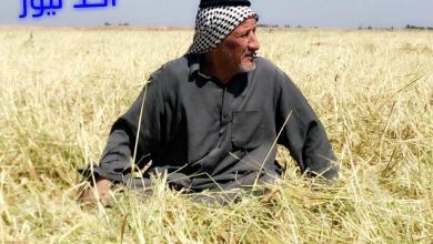 صورة بالصور.. بسبب الامطار تلف تام لاكثر من 25 الف دونم من الحنطة والشعير في الديوانية