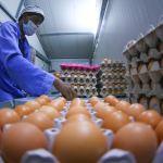 الزراعة توعز لشركات الدواجن بخفض سعر البيض