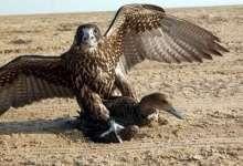 صورة احباط عملية تهريب صقور وطيور عراقية جنوبي البصرة
