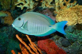 1200px-Doctorfish,_Acanthurus_chirurgus