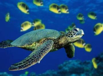 Tortuga-marina-verde-Discovery-Initiatives-470-x-350