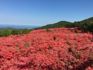 Musim azalea pegunungan terbaik yang akan datang di Mt. Tokusenjo, Kesennuma. Ayo berangkat ke Tohoku, Jepang!