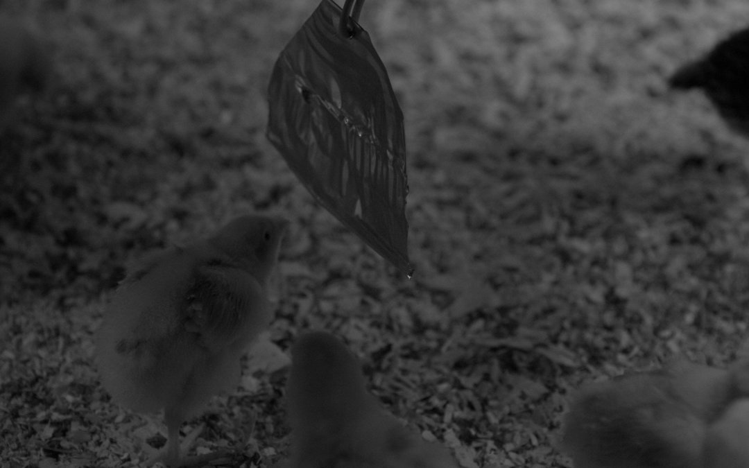 Chicks – Week 2