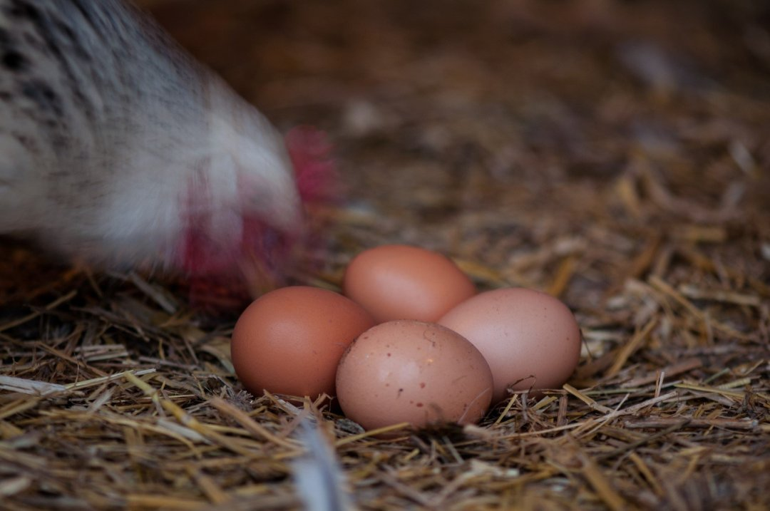 Four eggs and curious hen