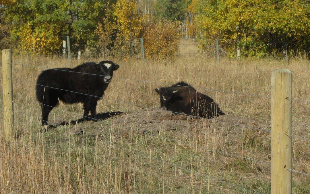 Yaks! Little Loaves Farm
