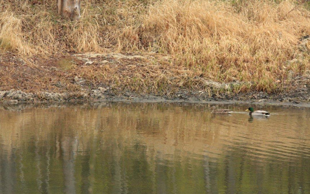 Spring Pond Visitors