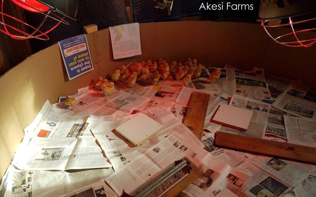 Chicks One Week