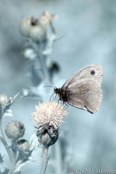 Ringlet Butterfly on Thistle in Colour Infrared.
