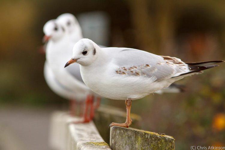 Black Headed Gulls on Bridge