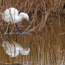Little Egret hunting