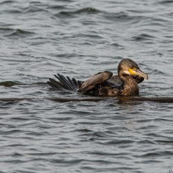 Cormorant getting out of water