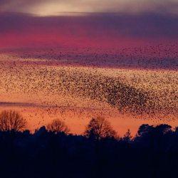 Starling Murmuration (6)