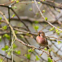 Redpoll in Spring Tree