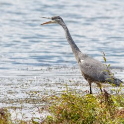 Grey Heron calling