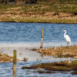 Walter the Great White Egret