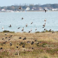 Starlings in flight over Farlington Marshes