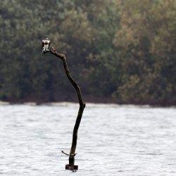 Juvenille Osprey at Blashford Lakes