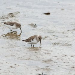 Dunlin feeding in mud