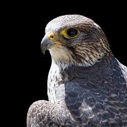 Gyr x Saker Falcon