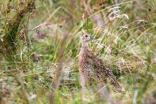 Female Pheasant in Grass