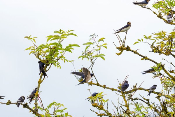 Flock of Swallows in Tree