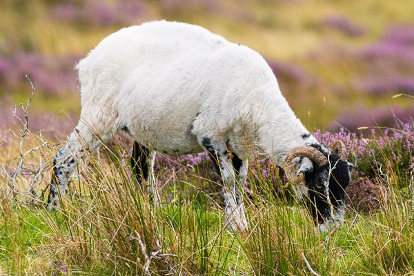 Sheep grazing on Westerdale Moor