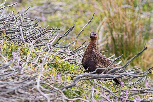 Red Grouse in old heather