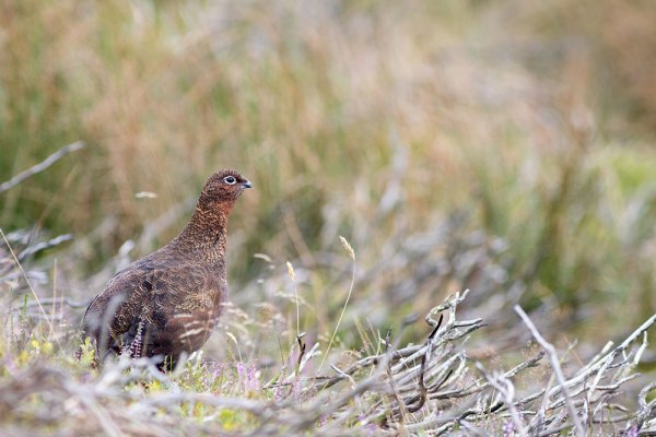 Red Grouse in profile (2)