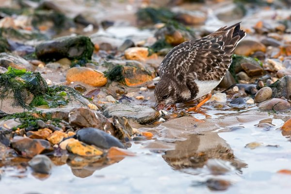 Turnstone about to turn over stone