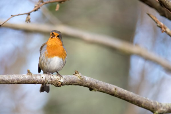 Robin singing on a branch