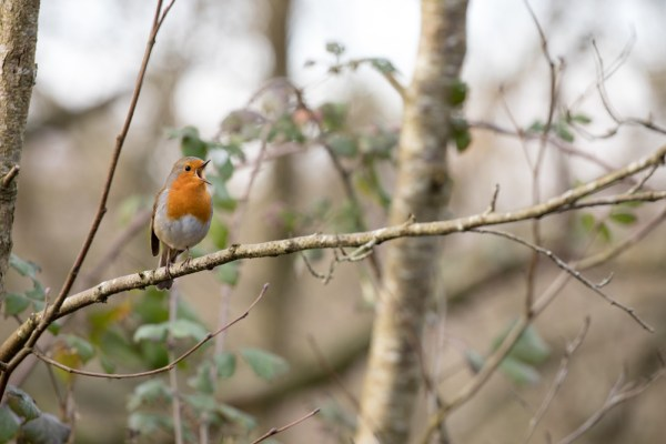 Robin singing in the tree