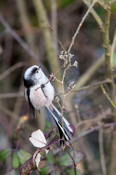 Long-tailed Tit looking up