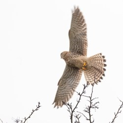 Kestral flying off
