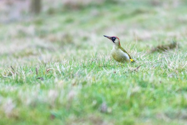 Green Woodpecker in the Grass