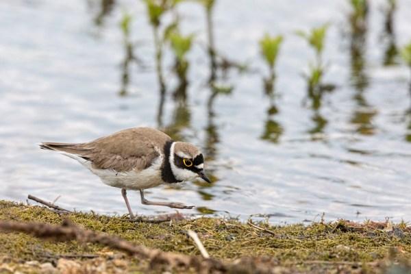 Little Ringed Plover walking on lake shore