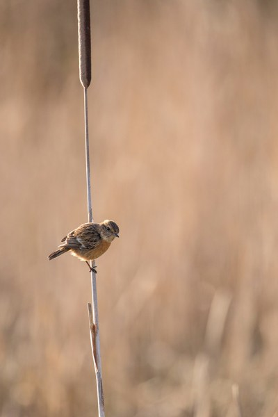 Stonechat on the reed