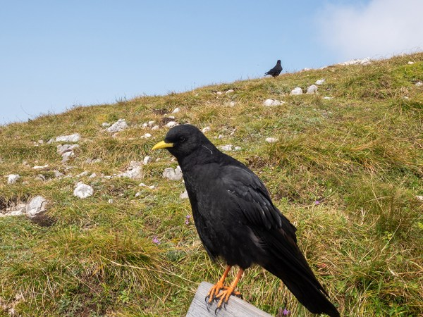 Alpine Chough on Bench