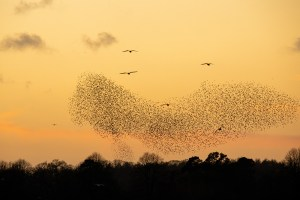Starling Murmurations at Blashford Lakes 2018-19