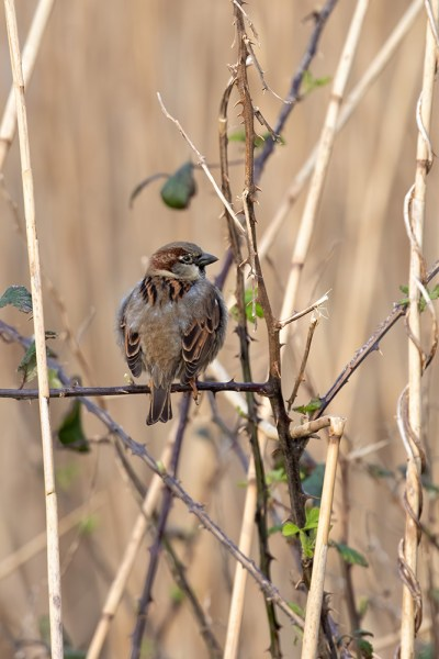 Sparrow on Brambles