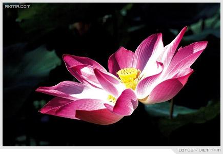Lotus - Viet Nam, บัว ดอกไม้ ประจำชาติ เวียดนาม