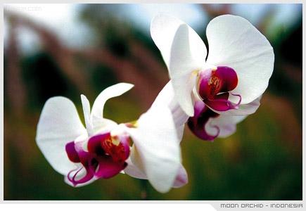 Moon Orchid - Indonesia, กล้วยไม้ราตรี ดอกไม้ ประจำชาติ อินโดนิเซีย