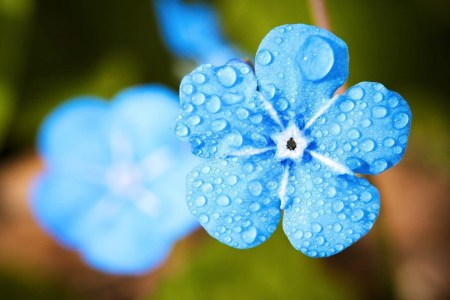 Pourquoi n'y a-t-il pas plus de fleurs bleues ?